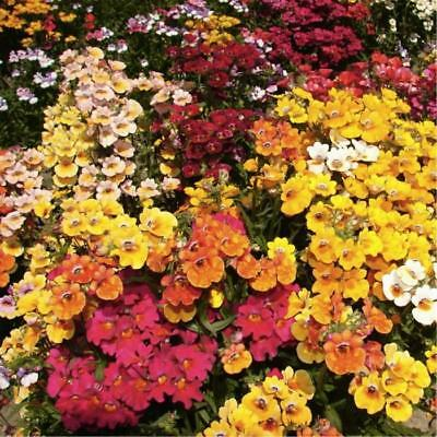 New Pack King's Seed Nemesia 'Carnival Mixed' Quality Garden Flower Seeds
