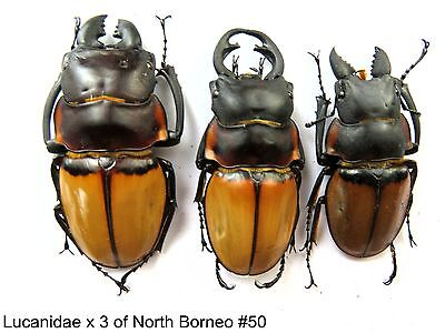 Lucanidae x3 of North Borneo    #50  For study/reserach