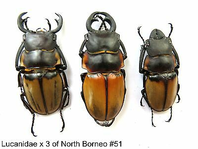 Lucanidae x3 of North Borneo    #51  For study/reserach