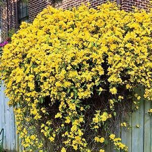 Caroline Jasmine Yellow 10 Seeds-brightens the dreariest fence
