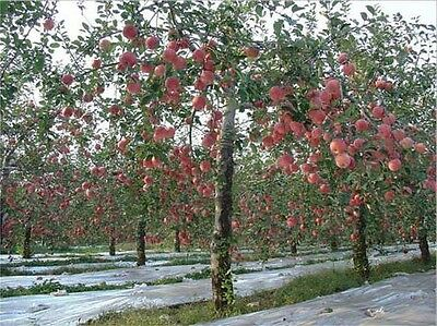 15 Fuji Apple Tree seeds (Malus pumila 'Fuji') CombSH