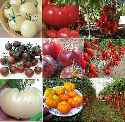 Tomatoes vegetable seeds set from Ukraine Most Popular