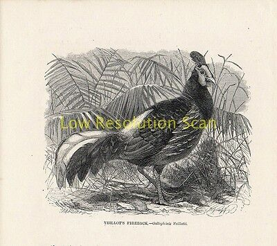 Yeillots Fireback - Antique Art Print Engraving Animal Bird 1862