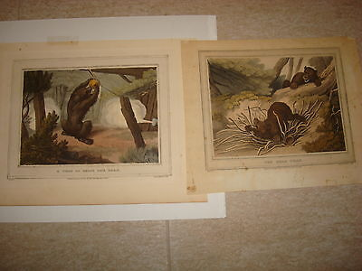 Pair of Circa 1813 hand colored lithographic antique prints of Brown Bears