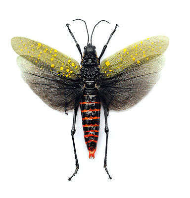 Taxidermy - real papered insects :  Orthoptera : Aularches punctatus SPREAD WING