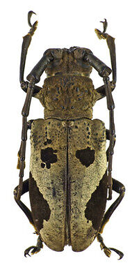 Taxidermy - real papered insects : Cerambycidae : Epicedia maculatrix