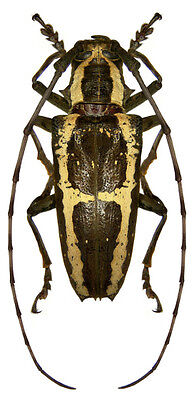 Taxidermy - real papered insects : Cerambycidae : Epepeotes ambigenus