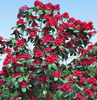 8 Seeds Rhododendron barbatum earliest Flower Red Easy Grower from Seed