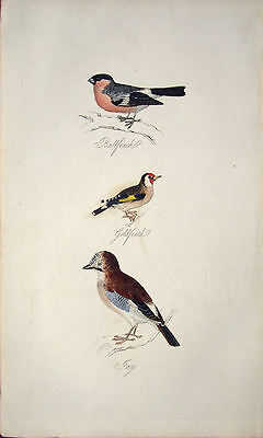 Bullfinch Goldfinch & Jay Antique Original Hand-Coloured Engraving 1835 – Scarce
