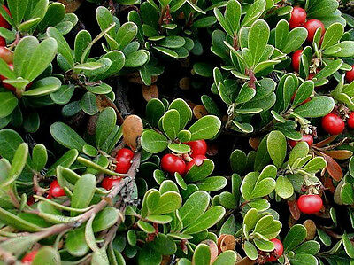 COMMON bearberry 30 SEMI BONSAI-kinnikinnick-Arctostaphylos Uva-ursi
