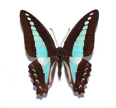 GRAPHIUM SARPEDON PAGUS - unmounted butterfly