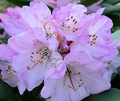 8 Seeds Rhododendron campanulatum Lavender Flower Easy Grower from Seed