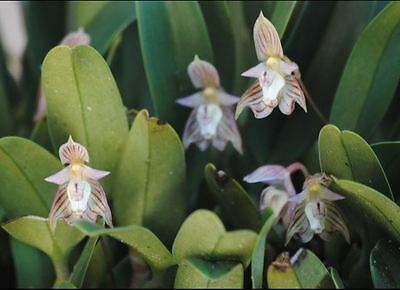 Orchid. Collectable. Bulbophyllum ambrosia. Species.