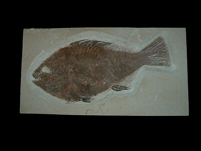 "Fossil Fish (Priscacara Serrata) 9"" Long"
