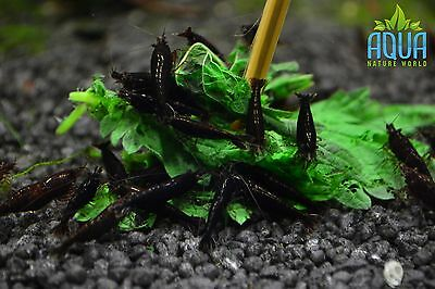 5 x Chocolate shrimp  Algae Clean Up Tropical Aquarium live fish not cherry