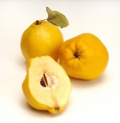 GIANT Delicious QUINCE 5-Fresh Seeds*Great For JAM & CONSERVE*UK SELLER*