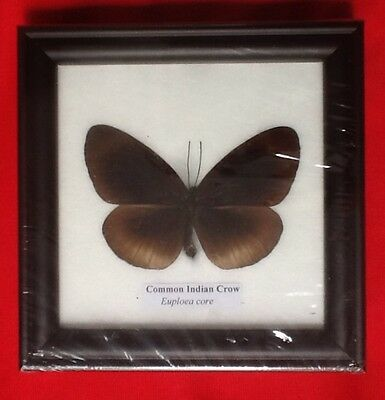 Real Common Indian Crow Butterfly Taxidermy Insect Picture Framed Entomology