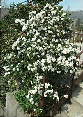 Viburnum Tinus 20 Seeds (Laurustinus) -evergreen,patio, border, hedge