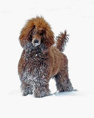 Snowy Red Standard Poodle 8x10 Glossy Photo