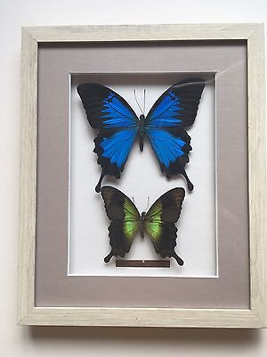 Taxidermy Butterfly Collection
