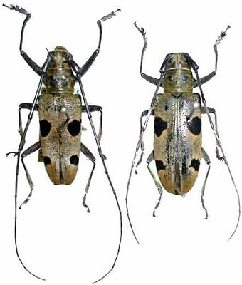 Taxidermy - real papered insects : Cerambycidae : Epepeotes ploratorPAIR