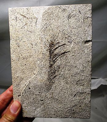 Large 7.5 cm fossil bird feather - Green River formation Wyoming flight feather