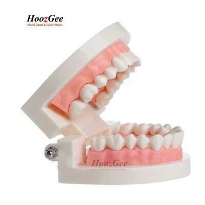 Pro Dental Teaching Study Standard Typodont Demonstration Adult OralTeeth Model