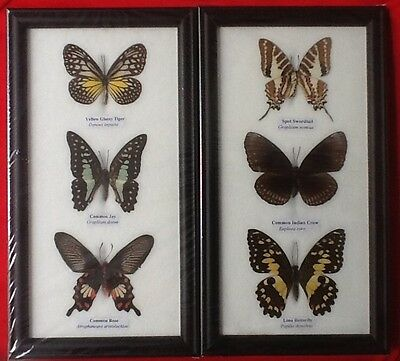 6 Real Butterflies Butterfly Taxidermy Insect Picture 2 Frames Entomology Rose