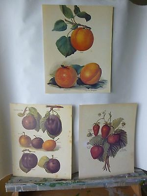 Set of 3 Antiquarian Style Prints of Fruits