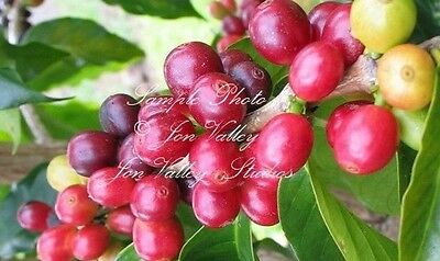 Coffea racemosa Tree 20 Seeds Coffee Seeds fragrant flowers Stays small Prolific