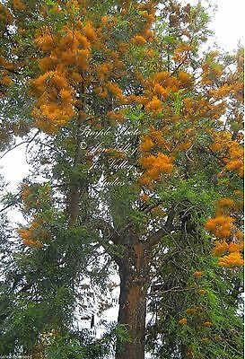 7 Seeds Silky Oak Tropical or Bonsai Gardening fast evergreen Grevillea robusta