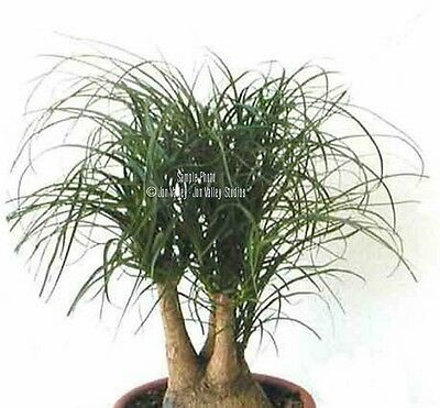Beaucarnea guatemalensis Red Ponytail Palm 10 Seeds Perfect Tropiclal or Bonsai