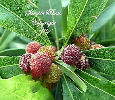 Rare Tropical 5 Seeds Japanese Bayberry Tropical Plant Seed Myrica rubra