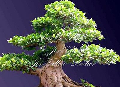 Ficus racemosa 10 seeds Fig Tree Tropical ornamental Great for Bonsai