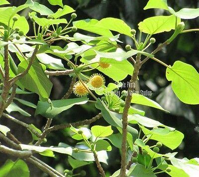 Adina cordifolia 7 seeds RARE Kadam Tree Kadamba Ancient Look Bonsai Ornamental