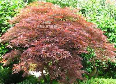 Acer palmatum 10 Seeds Red Japanese Maple Tree Bonsai Standard or Container