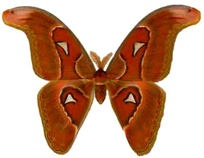 Taxidermy - real papered insects : Saturnidae : Attacus lorquini male