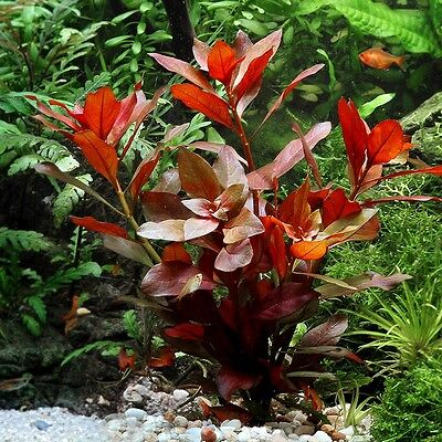 100 LUDWIGIA REPENS 'RUBIN' SEEDS - Aquarium grass plant seed Fish Tank Decor