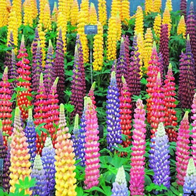 100 Mixed Russell Lupine Seeds Lupinus Polyphyllus Flower Seeds Garden Plant