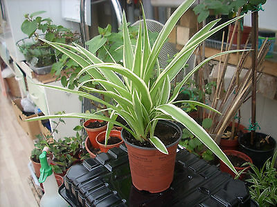 House Plants;  1 Good Size Spider Plant..