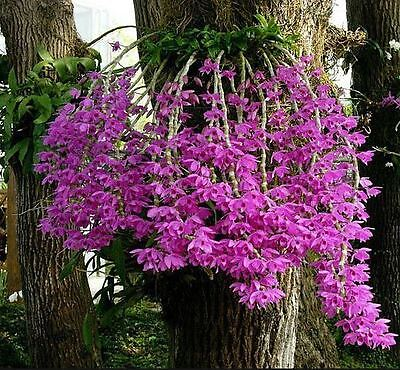 Orchid. Collectable. Dendrobium anosmum. Seedling. Species.