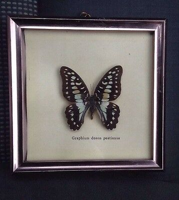 FRAMED BUTTERFLY TAXIDERMY ~ Graphium Doson Postianus