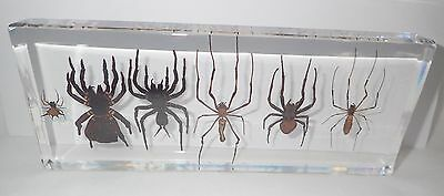 6 Spider Collection Set (in clear acrylic Block) Education Insect Specimen