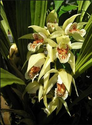 Orchid. Collectable. Coelogyne asperata. Species. Advanced.