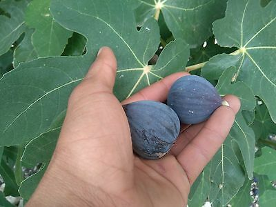 3 black fig cuttings - italian vr - ready to root - red flesh - ficus carica