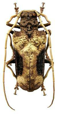 Taxidermy - real papered insects : Cerambycidae : Petrognatha gigas 50/55mm