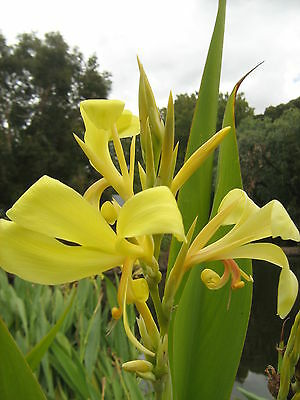 Canna Lilly Yellow Bare Rooted Clump