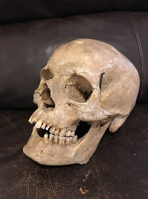 Antique Uncut Human Skull Model Medical Life size Realistic 1:1
