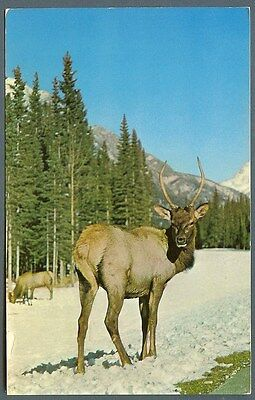Canadian Elk in the mountains ~ postcard c 1960s 1970s
