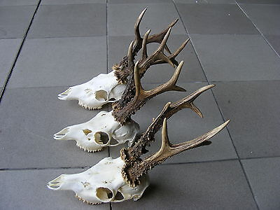 Collection of 3 Roe Deer Antlers taxidermy skull head hunting